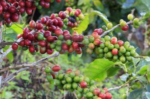 undername ekspor kopi