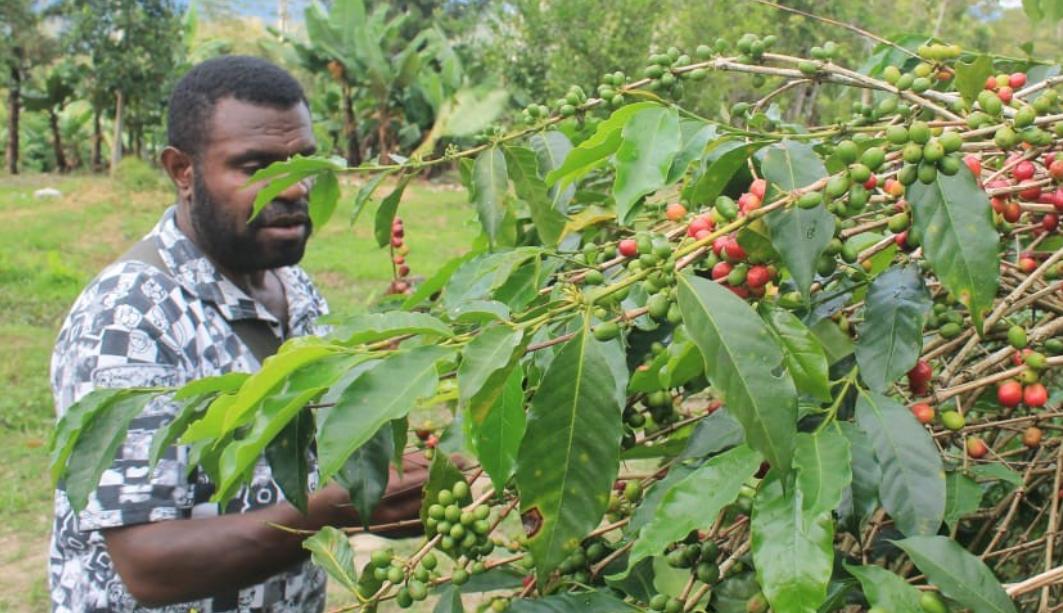 Coffee Wamena